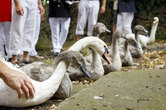 Captured swans and cygnets are measured and checked during the annual Swan Upping Census on the River Thames at Staines, west of London (AFP Photo/Tolga Akmen)