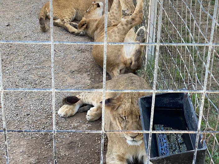 A group of ligers — half lions and half tigers — rest inside an enclosure at the Greater Wynnewood Exotic Animal Park.