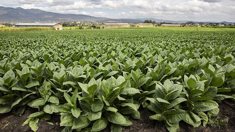 The tobacco plants at the Cigar Padron factory Nicaragua