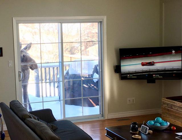 A moose watches the Olympics. (Via @MattJ777)
