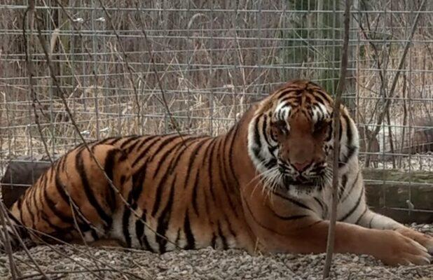 'Surviving Joe Exotic' Doc Tells a Story About Two Tigers That Will Make You Cry (Exclusive Video)