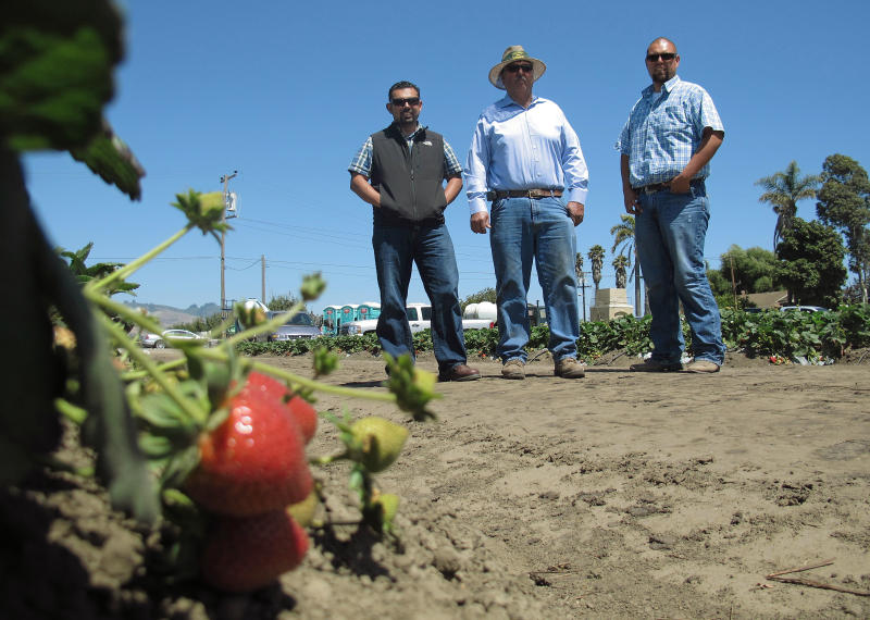 In this photo taken July 9, 2012, Rogelio Ponce Sr., center, and his two sons, Rogelio Ponce Jr., left, and Steven Ponce, right, pose for a photo on Monday, July 9, 2012 at the family's ranch in Watsonville, Calif., where the Ponces grow nearly 200 acres of strawberries. Ponce Sr., whose father migrated from Mexico and grew berries as a sharecropper, sold the family's home to start his own strawberry business some 20 years ago. Latino growers like the Ponces now dominate the California strawberry industry. (AP Photo/Gosia Wozniacka)