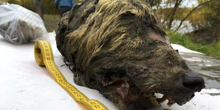 "A severed wolf's head dating back to the ice age was found in Russia. <p class=""copyright"">Reuters</p>"
