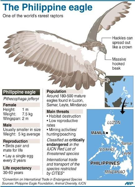 Graphic fact file on the Philippine eagle, one of the world's rarest raptors. The first Philippine eagle bred in captivity has sired her first offspring, conservationists said Thursday