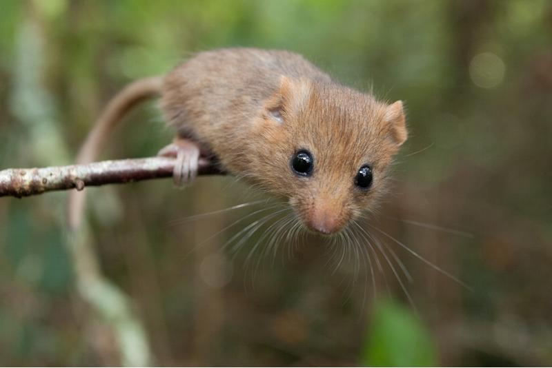 Dormice like shrubby areas under the trees (Clare Pengelly/PTES/PA)