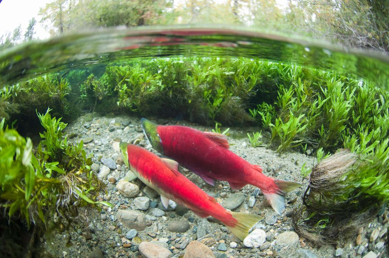 The Adams River sockeye run is one of the largest and most famous in the world. It happens once every four years.