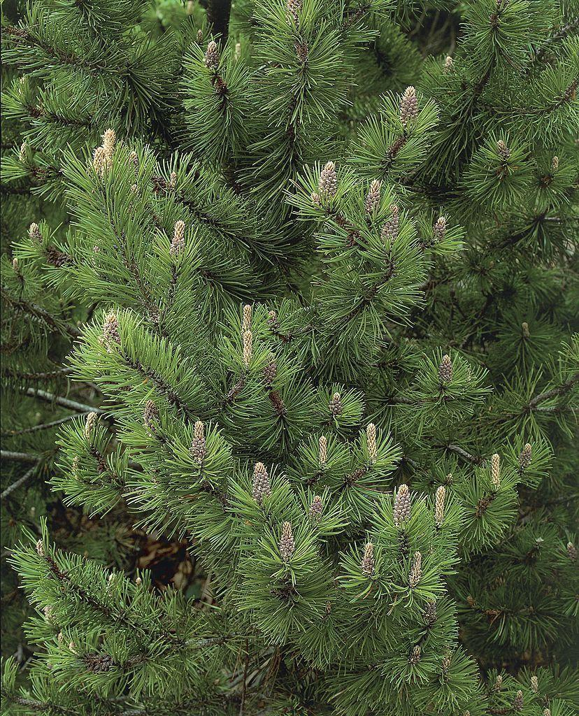 "<p>Slow-growing so it won't take over your garden, this hardy pine works beautifully in rock gardens, mass plantings, or as a foundation planting. It will reach 10 feet eventually, which is on the smaller side for most evergreens. Mugo pine needs full sun.</p><p><a class=""link rapid-noclick-resp"" href=""https://www.thetreecenter.com/dwarf-mugo-pine/"" rel=""nofollow noopener"" target=""_blank"" data-ylk=""slk:SHOP NOW"">SHOP NOW</a></p>"