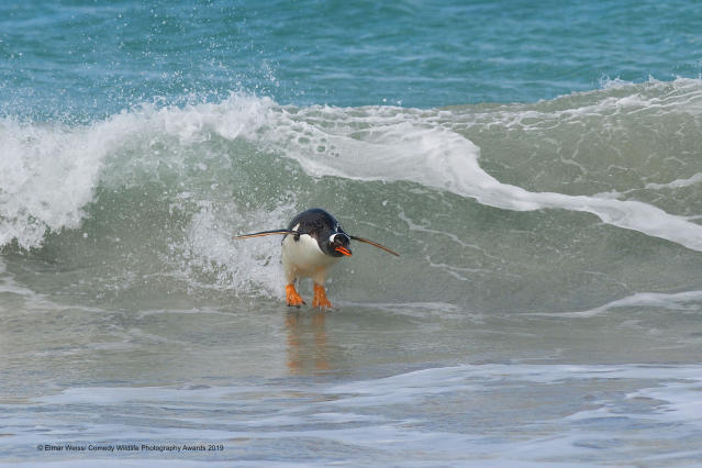 Un pinguino che fa surf nelle Falkland Islands ©Elmar Weiss / Comedy Wildlife Photography Awards 2019