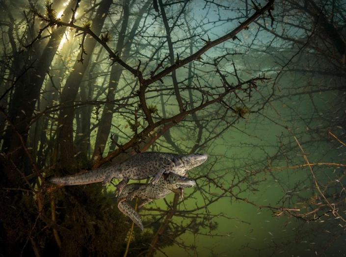 This image by Joao Rodrigues won the Wildlife Photographer of the Year: Behaviour: Amphibians and Reptiles Award (Joao Rodrigues/Wildlife Photographer of the Year/PA) (PA Wire)