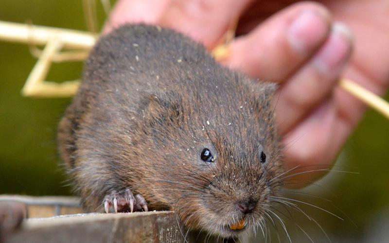 Water voles have vanished from 90 per cent of British streams and rivers - © North News & Pictures ltd