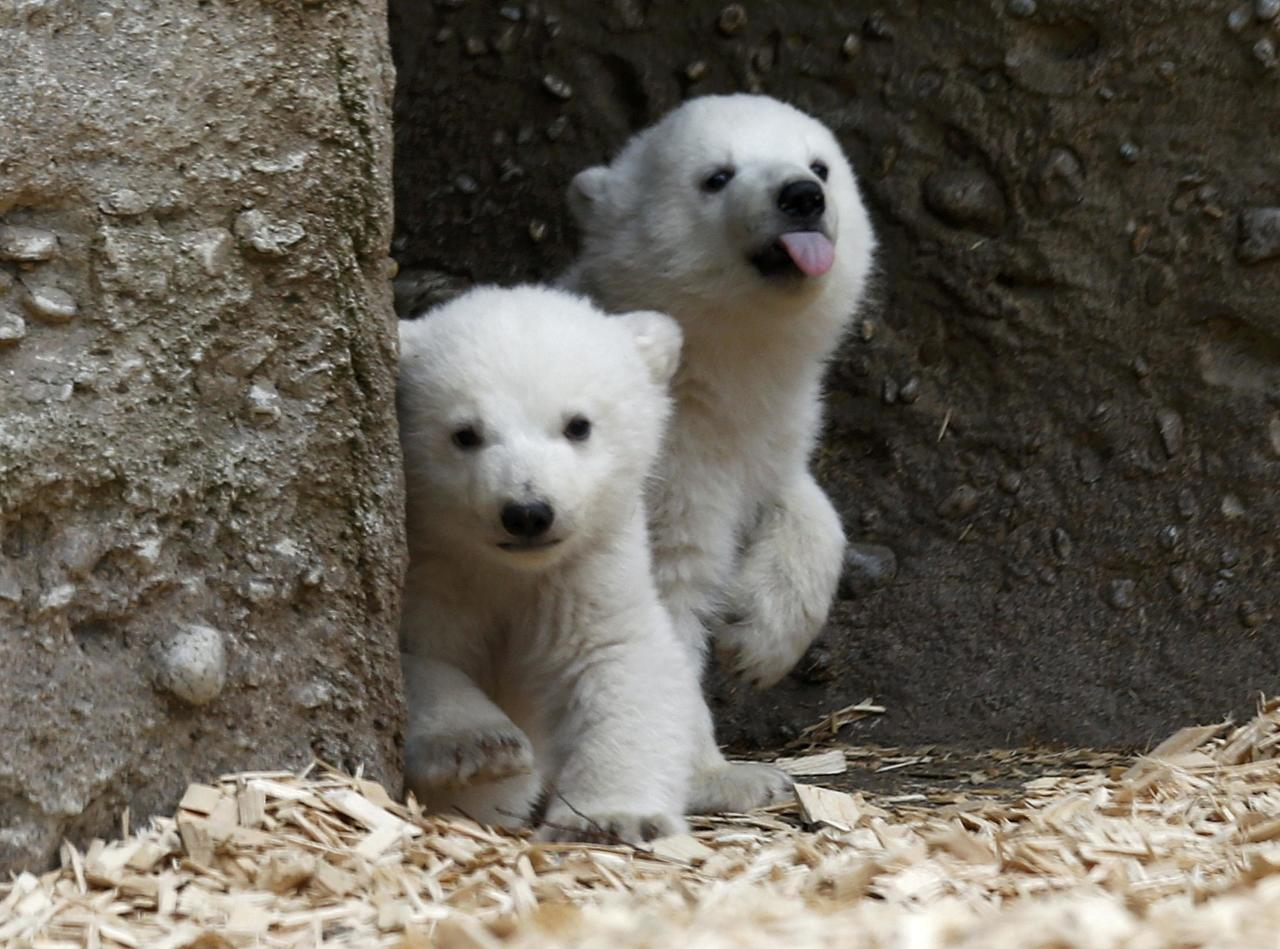 Twin polar bear cubs venture outside in their enclosure at Tierpark Hellabrunn in Munich, March 19, 2014. The 14 week-old cubs born to mother Giovanna and who have yet to be named, made their first public appearance on Wednesday. REUTERS/Michael Dalder (GERMANY - Tags: ANIMALS SOCIETY)