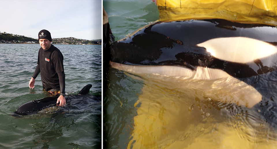 Volunteers floated the orca and are now caring for it in shifts. Source: Supplied