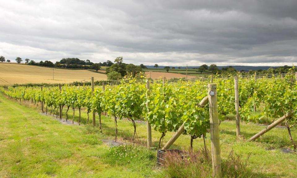 Vines on the Pebblebed Vineyard at Clyst St GeorgeVines on the Pebble bed Vineyard at Clyst St George near Topsham Devon England UK. (Photo by: Education Images/Universal Images Group via Getty Images)