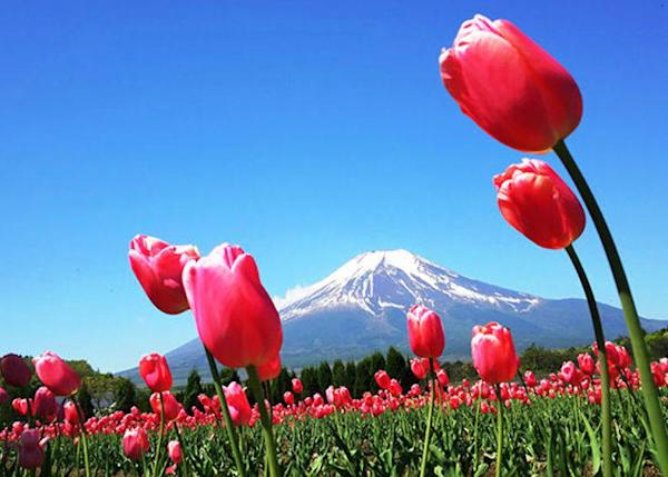 The tulips blossom between late April and early May. It's a vast area to be enjoyed at your heart's leisure.