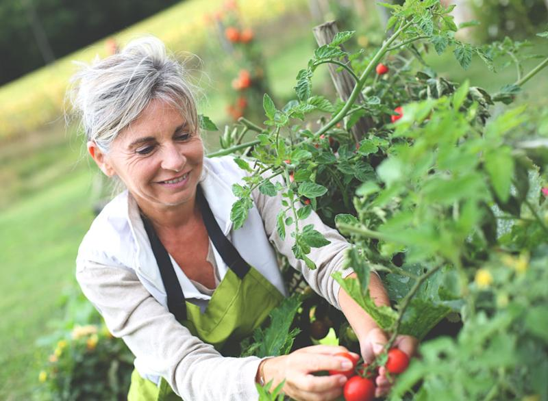 Older woman picking tomatoes from garden
