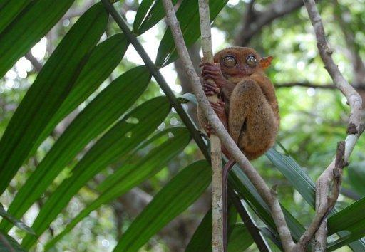 Philippine tarsier clings onto a branch on Bohol island, in the Philippines Central Visayas region. The tarsier is nocturnal, lives in the forest, and is highly sensitive to daylight, noise and human contact