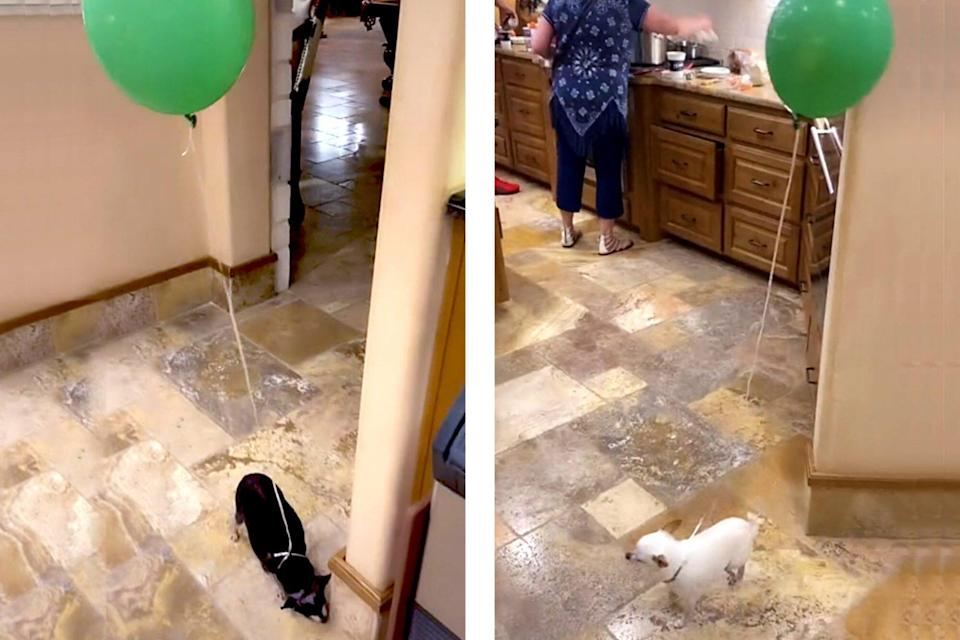 dogs with balloons tied to them in a kitchen with a split screen