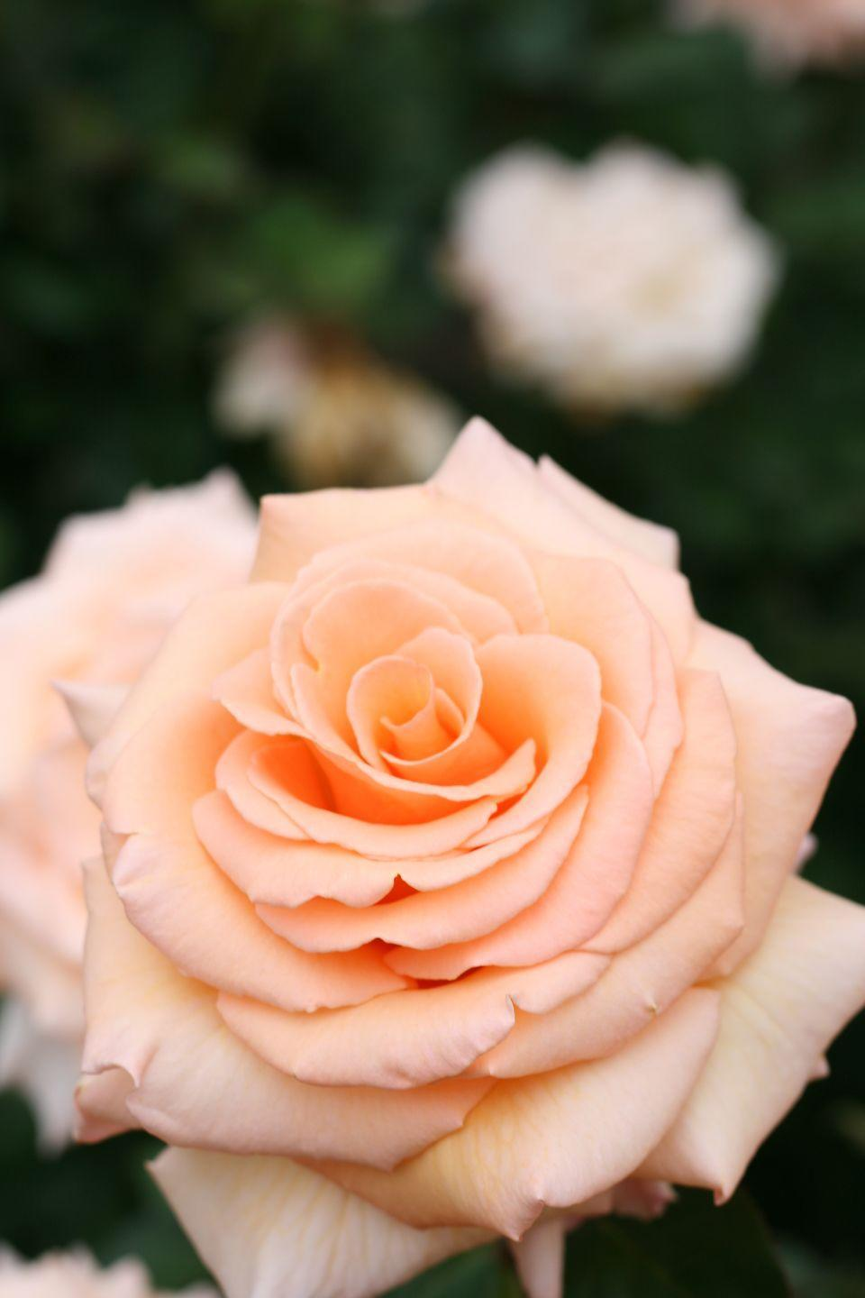 """<p>Sweet and understated, this variety signifies <a href=""""https://www.fiftyflowers.com/blog/rose-color-meanings/"""" rel=""""nofollow noopener"""" target=""""_blank"""" data-ylk=""""slk:modesty, sincerity, and gratitude."""" class=""""link rapid-noclick-resp"""">modesty, sincerity, and gratitude.</a> Send these flowers in place of a thank you note to tell people how you really feel. </p><p><a class=""""link rapid-noclick-resp"""" href=""""https://go.redirectingat.com?id=74968X1596630&url=https%3A%2F%2Fwww.ftd.com%2Fballad-luxury-bouquet-prd%2Flx188%2F&sref=https%3A%2F%2Fwww.goodhousekeeping.com%2Fholidays%2Fvalentines-day-ideas%2Fg1352%2Frose-color-meanings%2F"""" rel=""""nofollow noopener"""" target=""""_blank"""" data-ylk=""""slk:SHOP PEACH ROSES"""">SHOP PEACH ROSES</a></p>"""