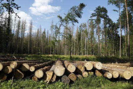 Logged trees are seen after logging at Bialowieza forest