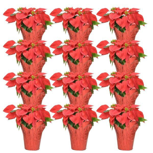 Costa Farms Fresh Red Poinsettia with Red Pot Cover