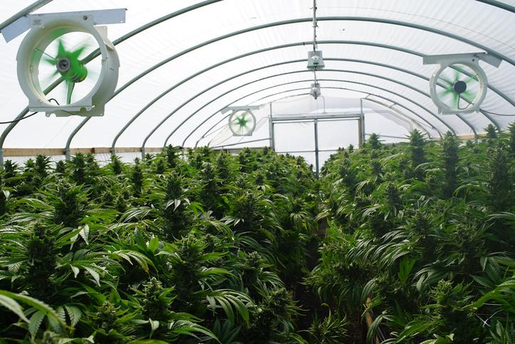 Interior of cannabis greenhouse showing building's frame and fans.