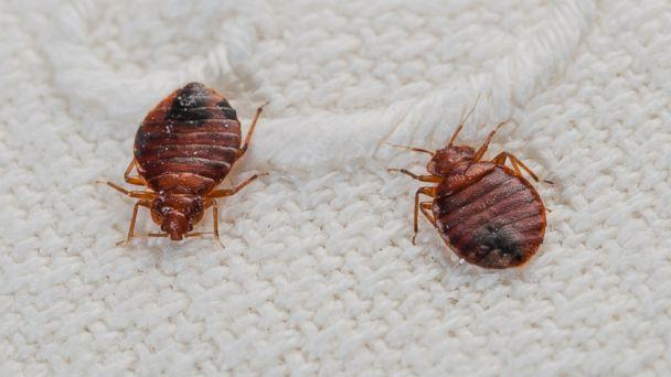 GTY bedbugs jt 140405 16x9 608 Honolulu Ambulances Have a Growing Bedbug Problem