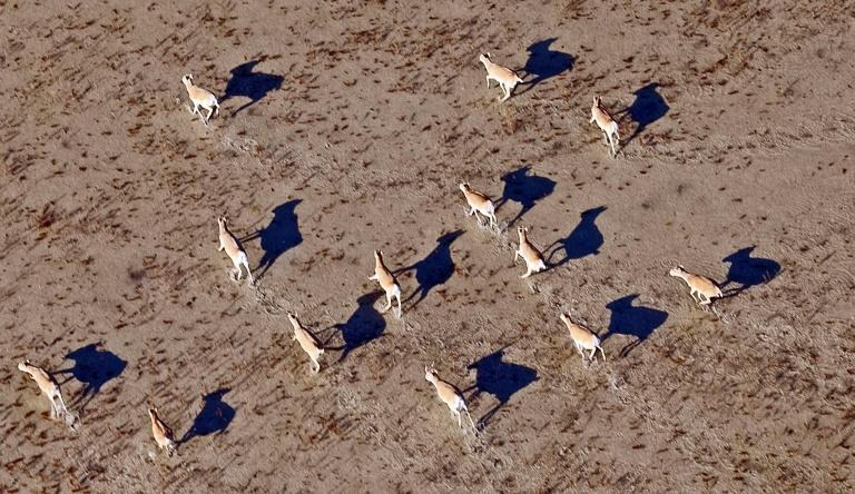 Kazakhstan's vast steppe is home to a majority of the world's Saiga