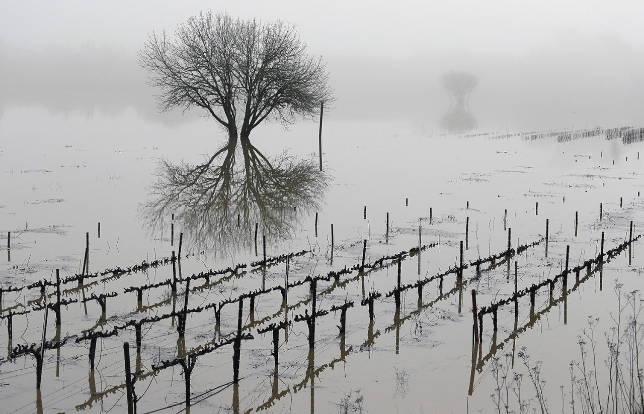 <p>Vineyards remain flooded in the Russian River Valley, Monday, Jan. 9, 2017, in Forestville, Calif. A massive storm system stretching from California into Nevada lifted rivers climbing out of their banks, flooded vineyards and forced people to evacuate after warnings that hillsides parched by wildfires could give way to mudslides. (AP Photo/Eric Risberg) </p>