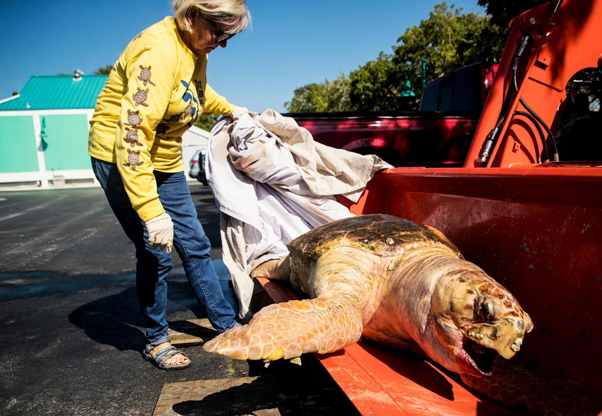 Eve Haverfield, the founder of Turtle Time Inc. displays a large female loggerhead sea turtle at Bowditch Point Park on Fort Myers Beach that was picked up from mid-island on Fort Myers Beach in October. She said it was the eighth dead sea turtle that has been recovered from Bonita Beach and Fort Myers Beach amid a red tide outbreak off the coast of Southwest Florida.