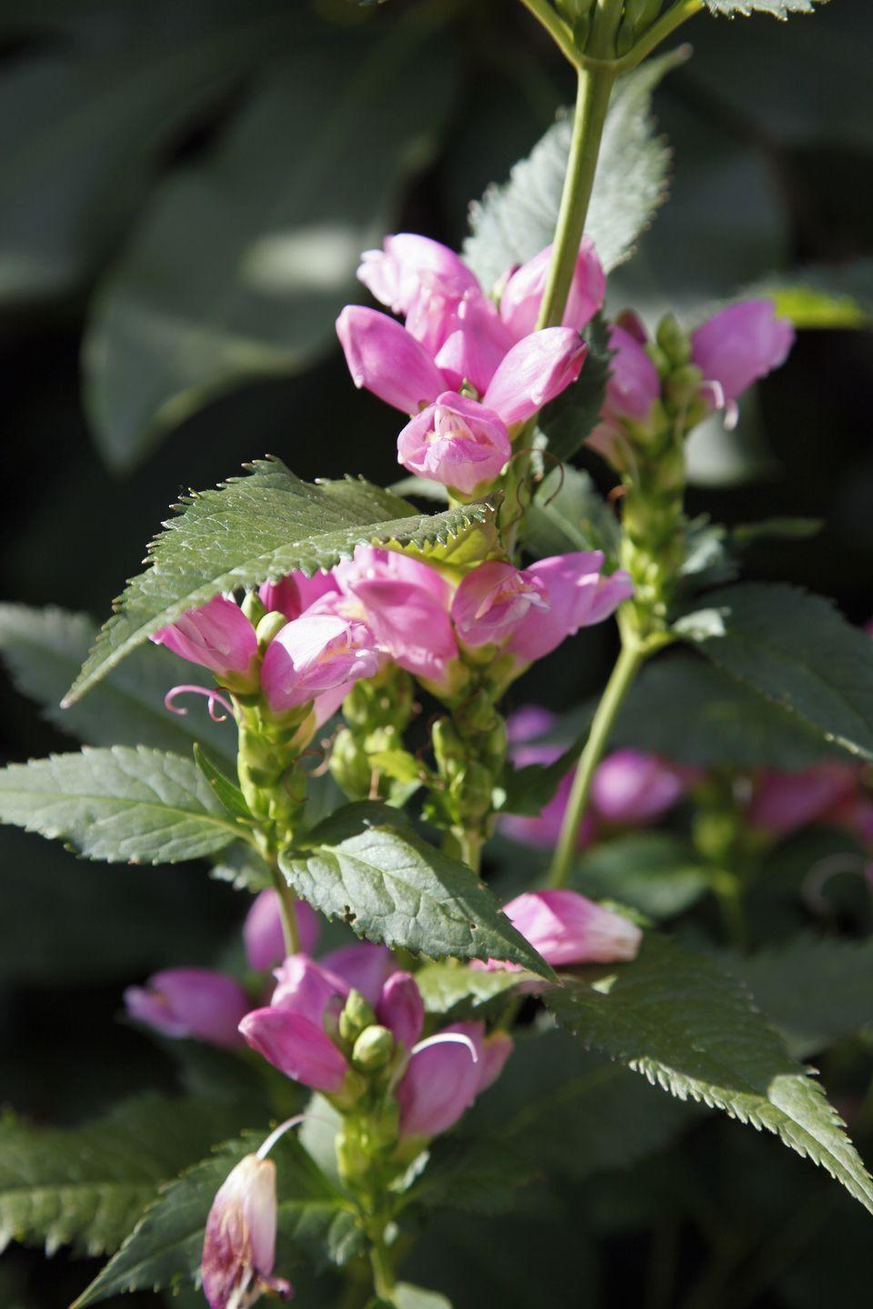"""<p>Named after the blooms' close resemblance to the head of a turtle, <a href=""""https://www.finegardening.com/plant/turtlehead-chelone-obliqua"""" rel=""""nofollow noopener"""" target=""""_blank"""" data-ylk=""""slk:chelones"""" class=""""link rapid-noclick-resp"""">chelones</a> grow to be an impressive three feet with petals ranging in hues of purple, pink, and white. <br></p><p><strong>When it blooms: </strong>Late summer into fall</p><p><strong>Where to plant:</strong> Partial shade</p><p><strong>When to plant:</strong> Spring</p><p><strong>USDA Hardiness Zones:</strong> 4 to 8</p>"""