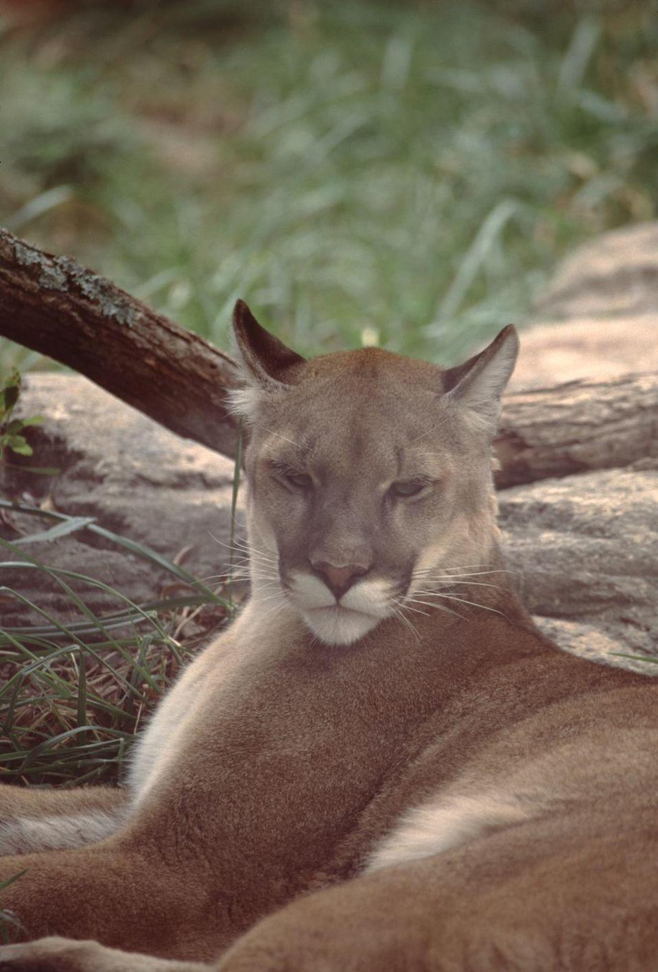 <p><strong>Eastern Cougar - </strong>Also existing in rumor and supposed sightings, the Eastern Cougar was labeled extinct in the 1930's. This hasn't stopped locals from reporting sightings about 50 times a year. </p>