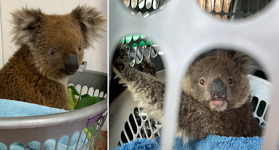 Left - Koala in a basket inside at Kangaroo Island. Right - injured koala looks to camera from inside a basket while travelling in a car on KI