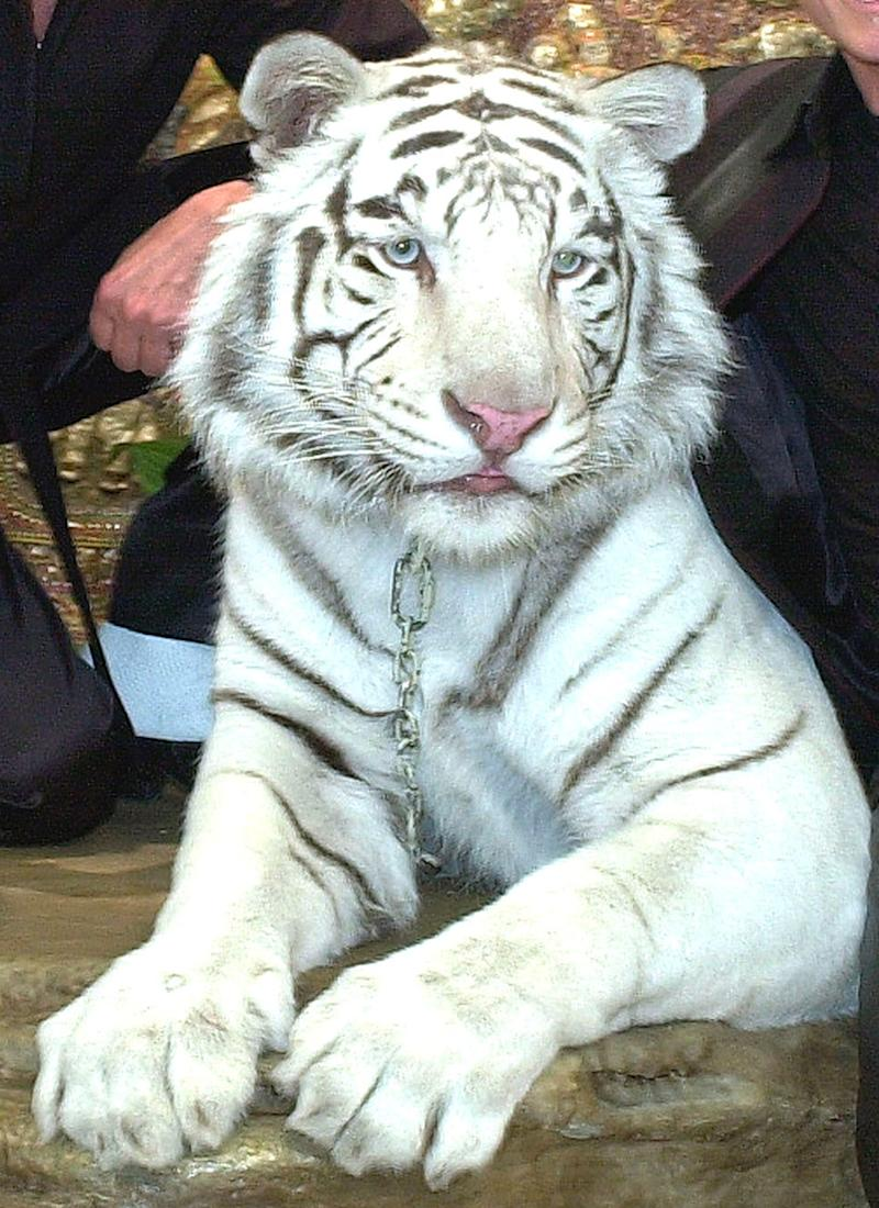 Montecore, a 600-pound white bengal tiger, performed as part of the