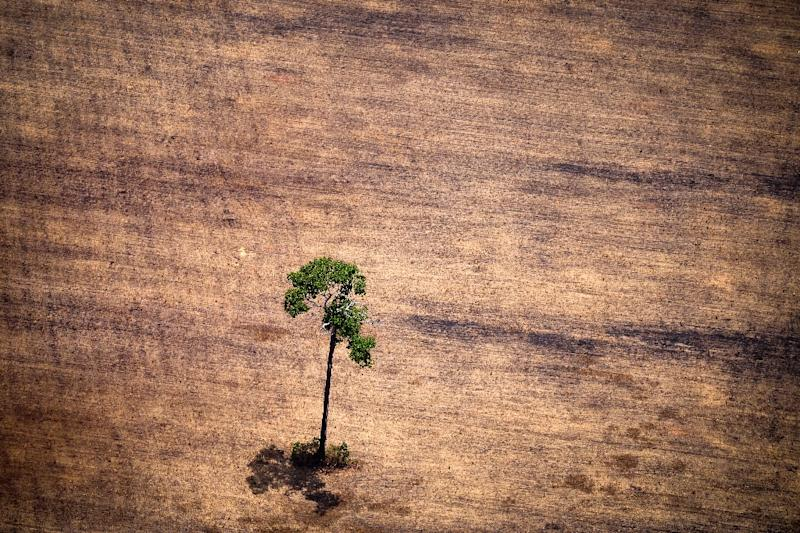 A tree in a deforested area in the middle of the Amazon jungle, seen during an flight by Greenpeace activists over areas of illegal exploitation of timber, in the state of Para, Brazil, October 14, 2014 (AFP Photo/Raphael Alves)
