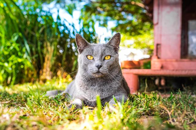 <p>A grey kitty sits in the shade at the Lanai Cat Sanctuary in Hawaii. (Photo: Andrew Marttila/Caters News) </p>