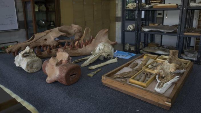 Fossils of a newly identified prehistoric whale species.