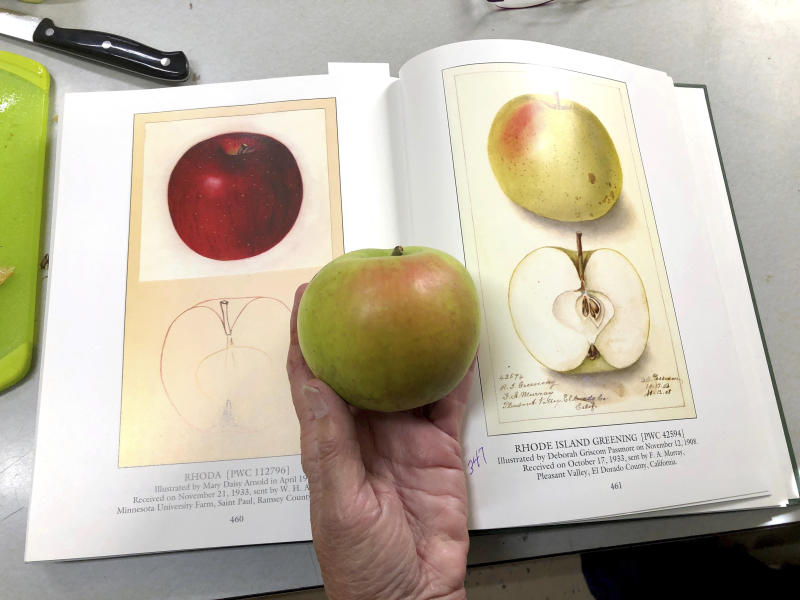 "In this Oct. 30, 2019, photo, Joanie Cooper, of the Temperate Orchard Conservancy, compares a rare apple to a 1908 watercolor illustration of the same variety in a U.S. Department of Agriculture book, as she works in her lab in Molalla, Oregon. The apple is a Rhode Island Greening, a heritage variety that was once popular but has now become extremely rare in the U.S. Cooper and her colleagues have helped identify many of the 13 ""lost"" apple varieties that have been rediscovered in recent years by the Lost Apple Project in eastern Washington and northern Idaho. (AP Photo/Gillian Flaccus)"