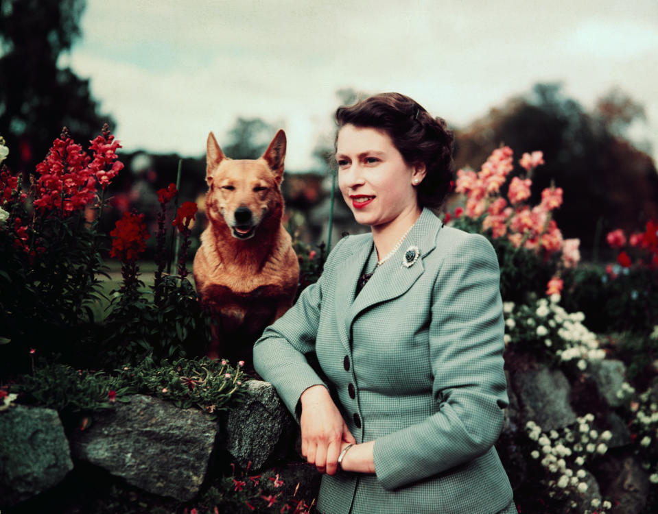 Queen Elizabeth II of England at Balmoral Castle with one of her Corgis, 28th September 1952. UPI color slide.