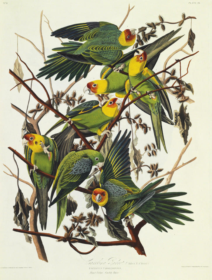 "This picture provided by Christie's showing the Carolina Parrot is from a rare first edition set of John James Audubon's ""The Birds of America."" Considered a masterpiece of ornithology art, the four-volume set contains more than 400 engraved hand-colored plates of all the North American species known to Audubon in the early 19th century. The volumes stand 3 ½-feet high because of Audubon's desire to depict the birds in their actual size and natural habitat. Christie's said the set is expected to sell for $7 million to $10 million at it's Jan. 20 auction. (AP Photo/Christie's)"