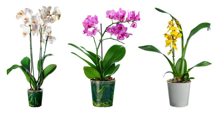 """Orchids are among the largest and most diverse of the flowering plant families, with more than 20,000 species. <span class=""""copyright"""">(Wolna / Adobe Stock)</span>"""