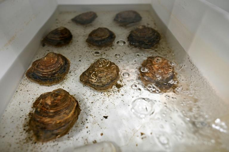 These molluscs will hopefully lead to a revival of their native oyster species in the waters near the British city of Portsmouth
