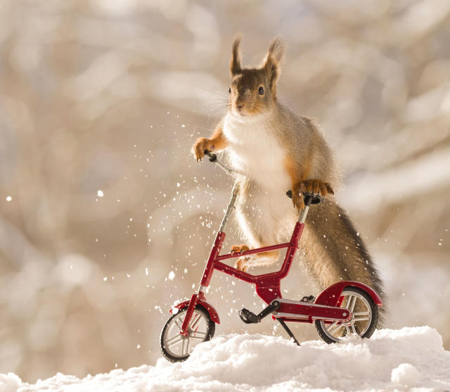"<p>Geert said: ""It was about minus 20 degrees and I put the scene on a table in my garden with sunflower seeds in a small bucket above the cycle and motor and waited for the squirrels."" (Photo: Geert Weggen/Caters News) </p>"