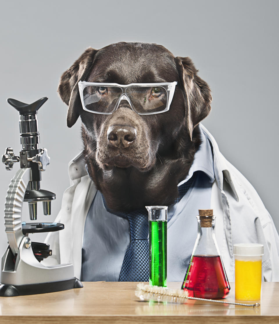 """""""Yes, I've heard the lab-rador joke before, thanks."""" (Getty Images)"""