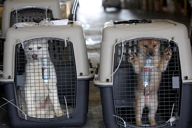 <p>In this image released on Thursday, March 19, 2015, 57 dogs rescued by Humane Society International and Change for Animals Foundation from a dog meat farm in Hongseong, South Korea, arrive in San Francisco. HSI worked with the farmer to remove the dogs from miserable conditions and close the doors of his facility for good. As part of the plan, HSI secured an agreement with him to stop raising dogs for food and move permanently to growing crops as a more humane way to make a living. HSI flew the dogs to San Francisco to be evaluated and treated for medical issues at the San Francisco SPCA. Some of the dogs will be transferred to additional HSI Emergency Placement Partners, including—East Bay SPCA, Marin Humane Society and the Sacramento SPCA. All the dogs will be found loving, permanent homes. In this image, dogs wait to be picked up from customs at the San Francisco airport. (Sammy Dallal/AP Images for Humane Society International) </p>