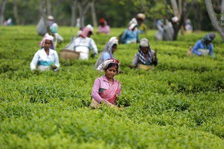 Tea garden workers pluck tea leaves inside Aideobarie Tea Estate in Jorhat in Assam, India, April 21, 2015. REUTERS/Ahmad Masood