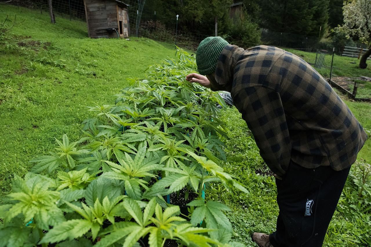 <p>Brad bends down to inspect one of his medical marijuana plants on the farm. They'll be planted in the ground in April and harvested in the following fall. (Photo: Deleigh Hermes for Yahoo News) </p>