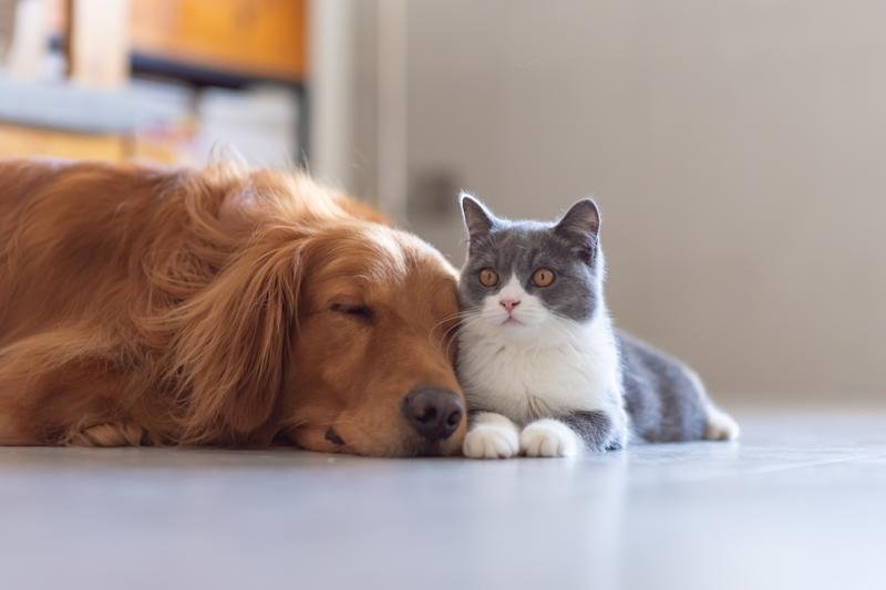 Golden Hound and British short-haired cat (Photo: Getty Images)