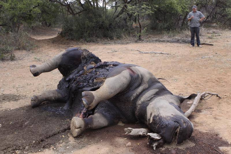 In this photo taken Friday, Nov. 22, 2012, a carcass of a rhino lays on the ground at Finfoot Lake Reserve near Tantanana, South Africa. South Africa says at least 588 rhinos have been killed by poachers this year alone, 8 rhinos at the Finfoot Lake Reserve, the worst recorded year in decades. The number has soared as buyers in Asia pay the U.S. street value of cocaine for rhino horn, a material they believe, wrongly, medical experts say, cures diseases. (AP Photo/Denis Farrell)