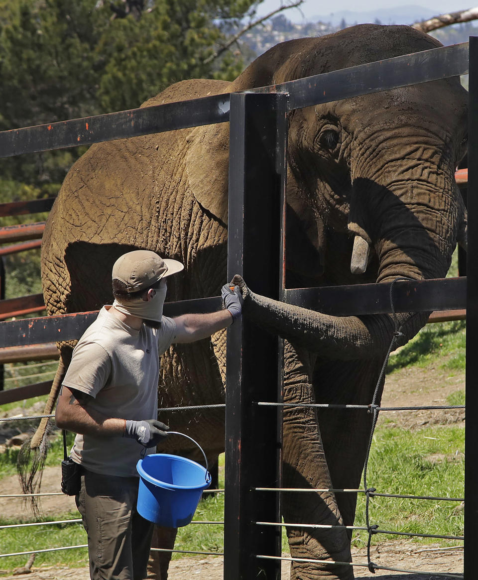 A zookeeper feeds an elephant an enrichment treat at the Oakland Zoo in Oakland, Calif., on April 14, 2020. Zoos and aquariums from Florida to Alaska are struggling financially because of closures due to the coronavirus pandemic. Yet animals still need expensive care and food, meaning the closures that began in March, the start of the busiest season for most animal parks, have left many of the facilities in dire financial straits. (AP Photo/Ben Margot)