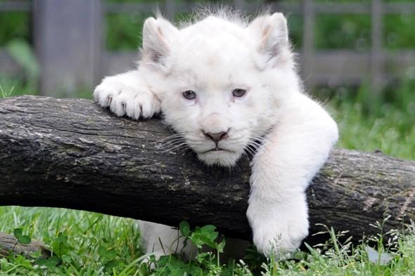 Picture of the day: White lion cub meets the world